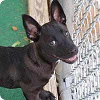 Adopt A Pet :: Diamond - Athens, AL