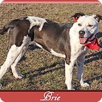 Adopt A Pet :: Brie - Hillsboro, TX