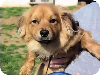 Chihuahua/Dachshund Mix Dog for adoption in Mahwah, New Jersey - Atkins