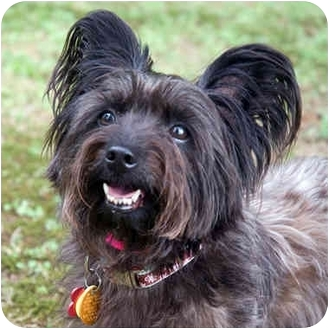 Yorkie, Yorkshire Terrier/Silky Terrier Mix Dog for adoption in Westfield, New York - Simon