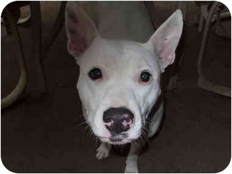 Bull Terrier Mix Dog for adoption in Coppell, Texas - Sugar