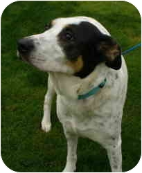 Pointer/Cattle Dog Mix Dog for adoption in Sacramento, California - Lacey