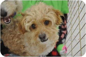 Miniature Poodle Mix Dog for adoption in Tumwater, Washington - Beamer