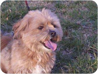 Yorkie, Yorkshire Terrier/Lhasa Apso Mix Dog for adoption in Windham, New Hampshire - George