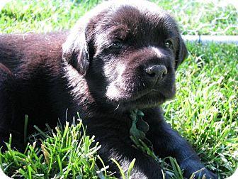 Labrador Retriever Mix Puppy for adoption in Evergreen, Colorado - Gale