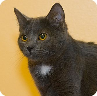 Domestic Shorthair Kitten for adoption in Elmwood Park, New Jersey - Lucy