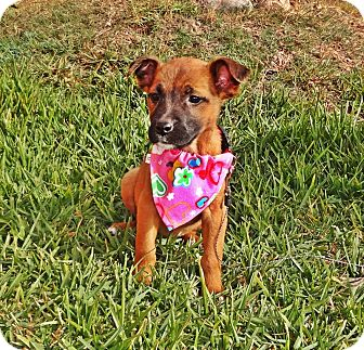 Rhodesian Ridgeback Mix Puppy for adoption in El Cajon, California - Kaly