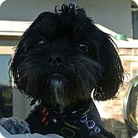 Adopt A Pet :: Britches - white settlment, TX