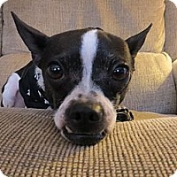 Adopt A Pet :: Lily - Schenectady, NY