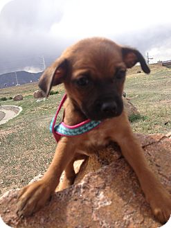 Miniature Pinscher/Chihuahua Mix Puppy for adoption in Westminster, Colorado - Pebbles
