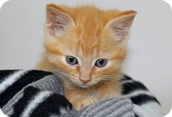 Domestic Shorthair Kitten for adoption in Farmington Hills, Michigan - Carl