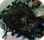 Domestic Mediumhair Kitten for adoption in Wheaton, Illinois - Hazel