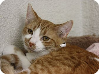 Domestic Shorthair Kitten for adoption in Hawthorne, California - Bullwinkle