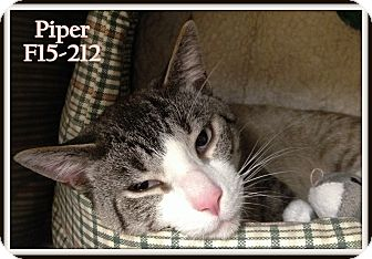 Siamese Cat for adoption in Tiffin, Ohio - Piper
