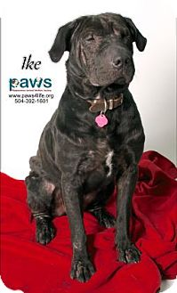 Shar Pei Mix Dog for adoption in Belle Chasse, Louisiana - Ike