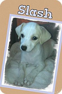 Chihuahua Mix Puppy for adoption in Apache Junction, Arizona - Slash