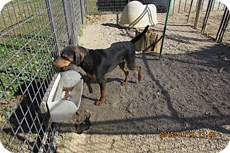 Black and Tan Coonhound Mix Dog for adoption in Walthill, Nebraska - Hunter