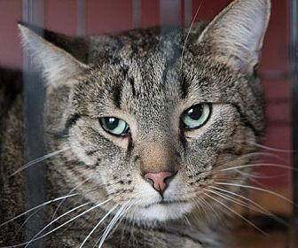 American Shorthair Cat for adoption in Franklin, Indiana - Boy