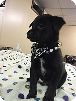 Rat Terrier Mix Puppy for adoption in Laingsburg, Michigan - Willy