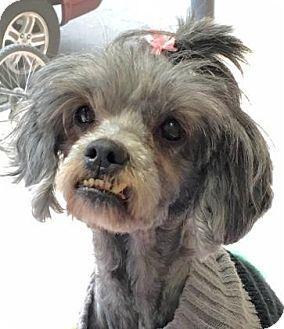 Shih Tzu Mix Dog for adoption in Philadelphia, Pennsylvania - Channing (f.k.a. Shaggy)