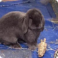 Adopt A Pet :: Fuzzybutt - Conshohocken, PA