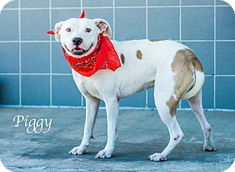 Pit Bull Terrier Mix Dog for adoption in Lancaster, Texas - Piggy