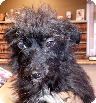 Yorkie, Yorkshire Terrier/Terrier (Unknown Type, Small) Mix Puppy for adoption in Phoenix, Arizona - Victor Charlie