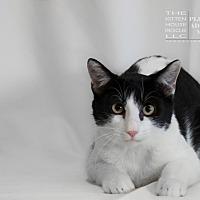 Domestic Mediumhair Cat for adoption in Houston, Texas - ATTICUS