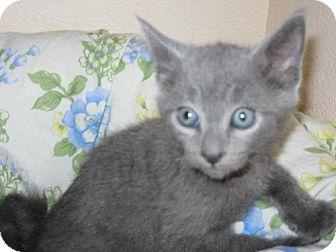 Domestic Shorthair Kitten for adoption in Walnut Creek, California - Blueberry Muffin