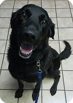 Labrador Retriever/Golden Retriever Mix Dog for adoption in Portland, Maine - Tripp