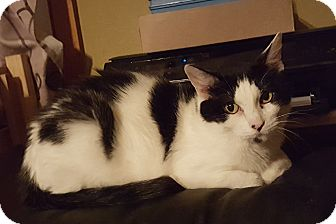 Domestic Shorthair Cat for adoption in Rockford, Illinois - Miley