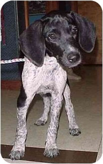Pointer Mix Puppy for adoption in North Judson, Indiana - Faith