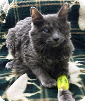Domestic Mediumhair Cat for adoption in Riverside, California - Orion