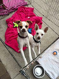 Chihuahua/Rat Terrier Mix Dog for adoption in Acworth, Georgia - Lennon