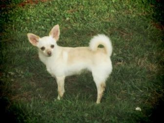 Chihuahua/Pomeranian Mix Puppy for adoption in Centreville, Virginia - Buffy and Lily