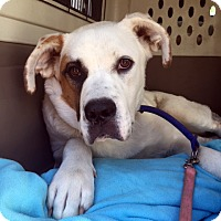 Adopt A Pet :: Abby - kennebunkport, ME