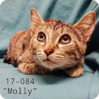 Domestic Shorthair Cat for adoption in Cannelton, Indiana - Molly