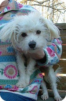 Maltese/Bichon Frise Mix Dog for adoption in Rochester, New York - Cotton