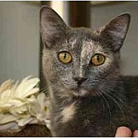 Calico Cat for adoption in St. Cloud, Florida - Channing