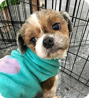 Shih Tzu Mix Dog for adoption in Sherman Oaks, California - LOLA