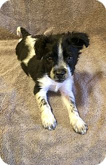 Jack Russell Terrier/Pointer Mix Puppy for adoption in Atlanta, Georgia - Scruffy