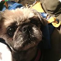Adopt A Pet :: Cheyanne: Snuggle Girl! (VA) - Madison, WI
