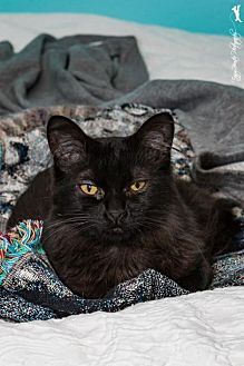 Domestic Mediumhair Cat for adoption in Campbell, California - Raven