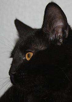 Domestic Shorthair Cat for adoption in Burlington, Washington - Amber - GO