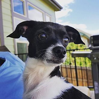 Chihuahua Mix Dog for adoption in Fort Collins, Colorado - Robin