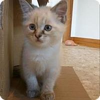 Adopt A Pet :: Toblerone K6 Aka Arctic Cat - Sherwood, OR