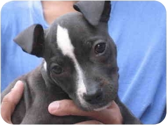 American Staffordshire Terrier Puppy for adoption in Long Beach, New York - Princess