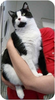 Domestic Shorthair Cat for adoption in Clifton, New Jersey - Carmella