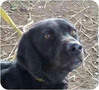 Labrador Retriever Dog for adoption in Lexington, Missouri - Boyd