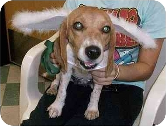 Beagle Dog for adoption in Ventnor City, New Jersey - HOPE